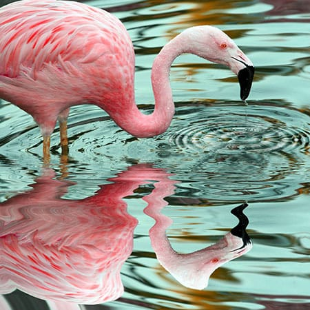 Pink Flamingo Reflections